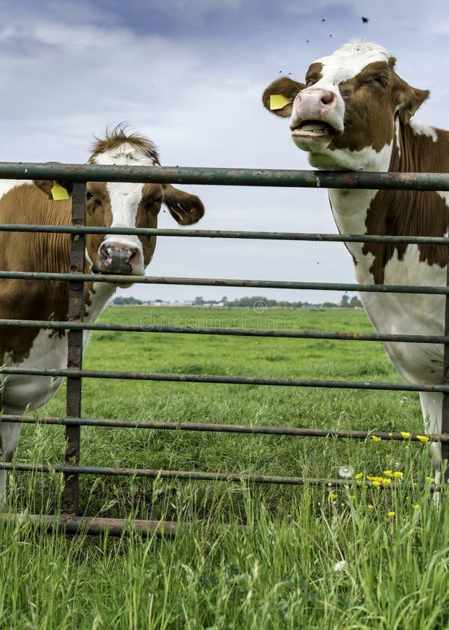 Dos vacas que se colocan detrás de una cerca en el campo fotografía de archivo