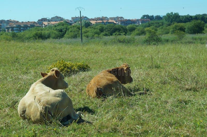 Dos vacas tumbadas en un prado arkivbilder
