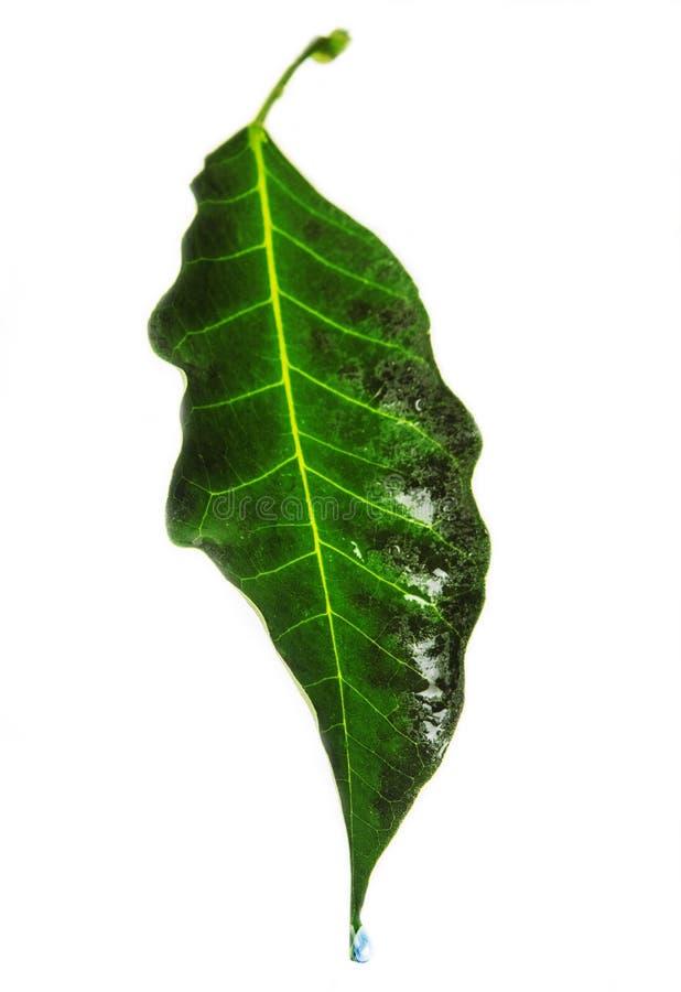 Dos verdes y hojas mojadas foto de archivo