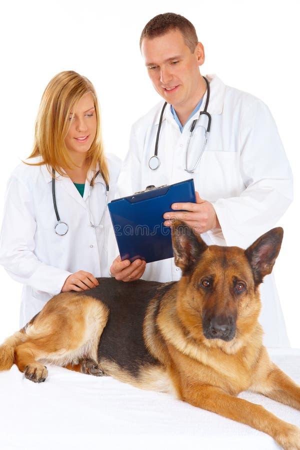 Dos veterinarios que examinan el perro imágenes de archivo libres de regalías