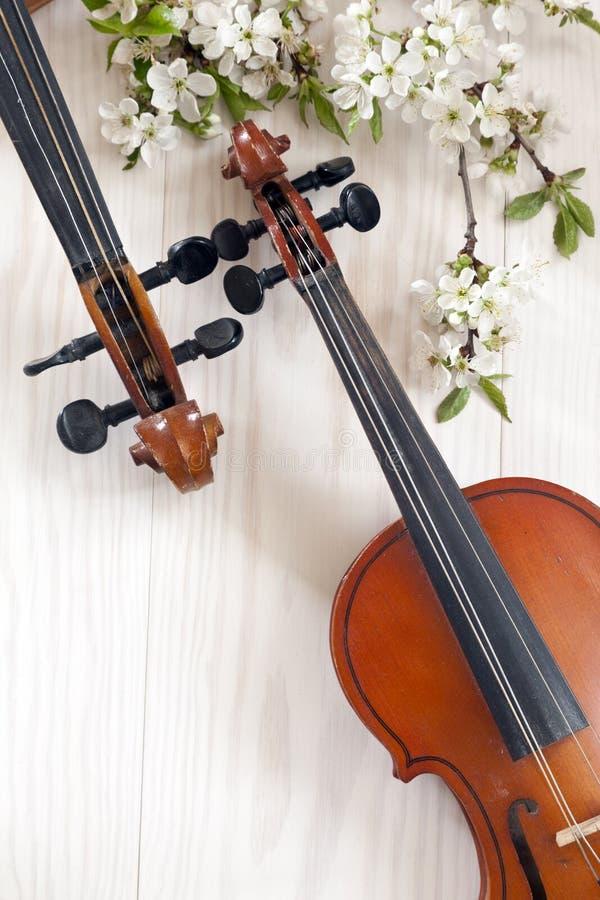 Dos violines y ramas florecientes del cerezo en el fondo de madera blanco imagenes de archivo