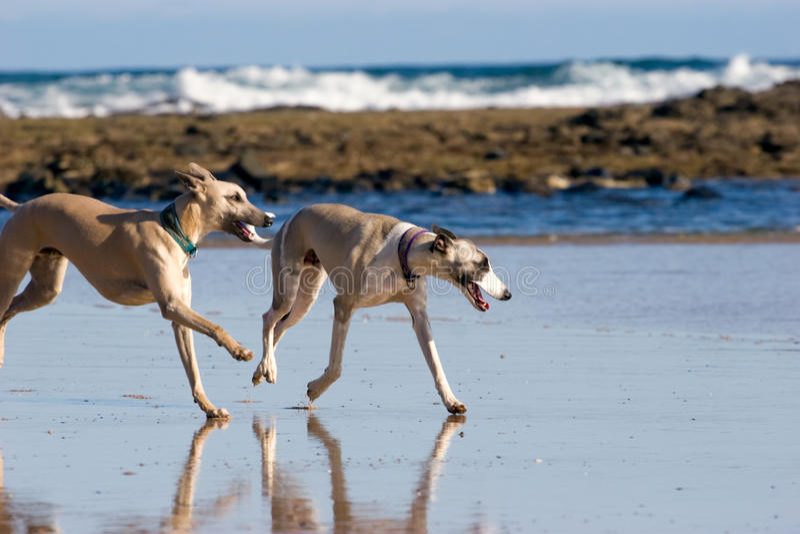 Dos Whippets que se ejecuta en la playa foto de archivo libre de regalías