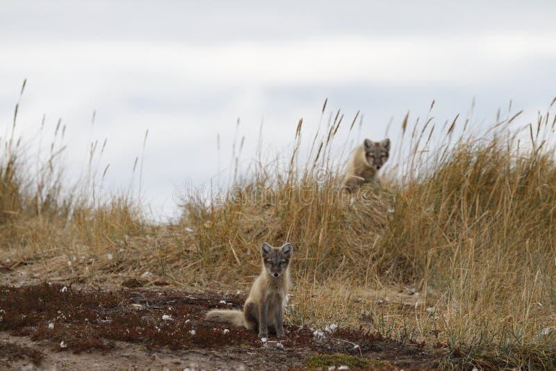 Dos zorros árticos jovenes, Lagopus del Vulpes, en colores de la caída con uno que oculta detrás de hierba, cerca de su guarida fotos de archivo