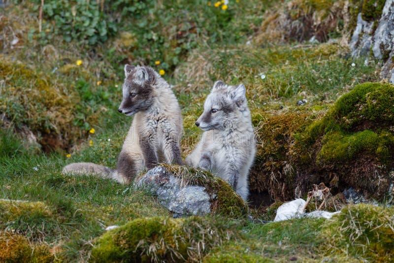 Dos zorros árticos se sientan en la hierba verde fotografía de archivo