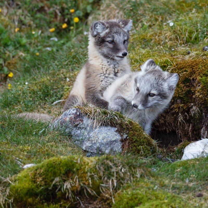Dos zorros árticos se sientan en la hierba verde fotografía de archivo libre de regalías