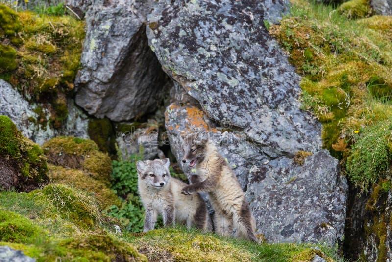 Dos zorros árticos se sientan en la hierba verde imágenes de archivo libres de regalías