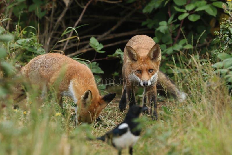 Dos zorros rojos silvestres hambrientos de caza, vulpes vulpes, parados en la entrada del refugio. Uno está viendo una magdalena  foto de archivo