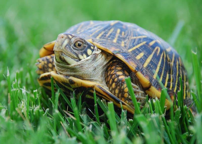 Dosenschildkröte stockbild