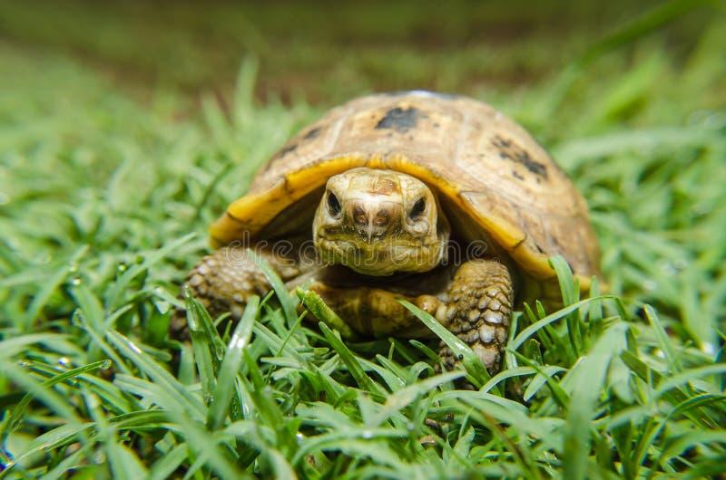 Dosenschildkröte lizenzfreies stockfoto