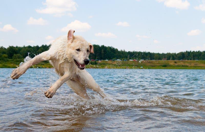 doskakiwanie psia woda fotografia royalty free