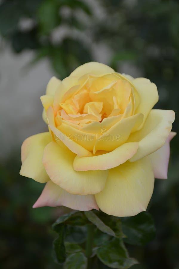 Doskonałość parkuje różanego zdjęcie royalty free