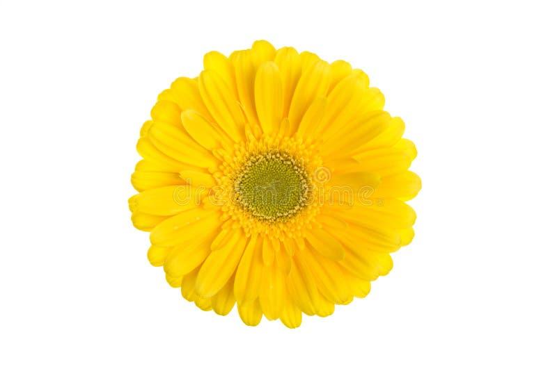 Doskonalić żółta gerbera kwiatu głowa odizolowywająca na białym tle zdjęcia stock