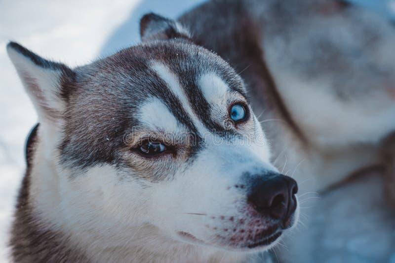 Doskonalić husky z różnym oko kolorem w zimie zdjęcie royalty free