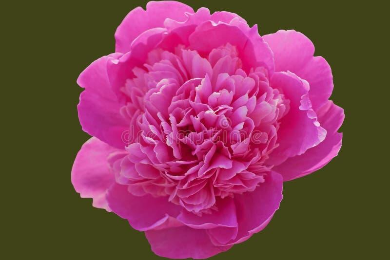 Doskonalić różowej peoni odizolowywającej z ścinek ścieżką na zielonym tle zdjęcia stock