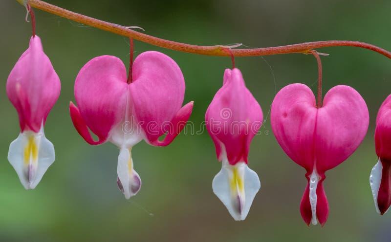 Doskonali? rz?d krwawi?cego serca kwiaty, tak?e zna? jak ?dama w sk?paniu ?lub lira kwiacie, fotografuj?cym w Surrey, UK zdjęcia stock