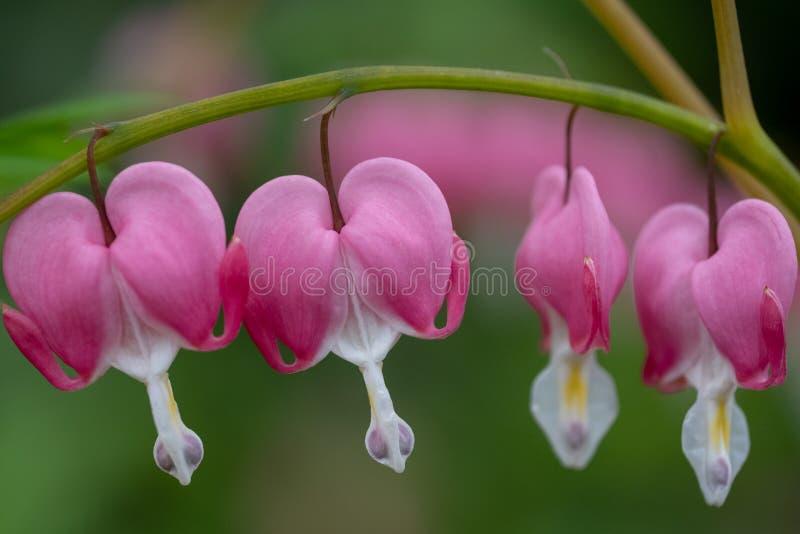 Doskonali? rz?d krwawi?cego serca kwiaty, tak?e zna? jak ?dama w sk?paniu ?lub lira kwiacie, fotografuj?cym w Surrey, UK obrazy royalty free