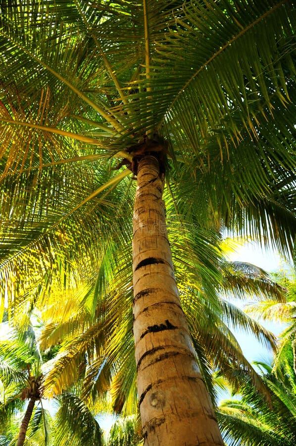 Dosséis da palmeira na floresta tropical foto de stock