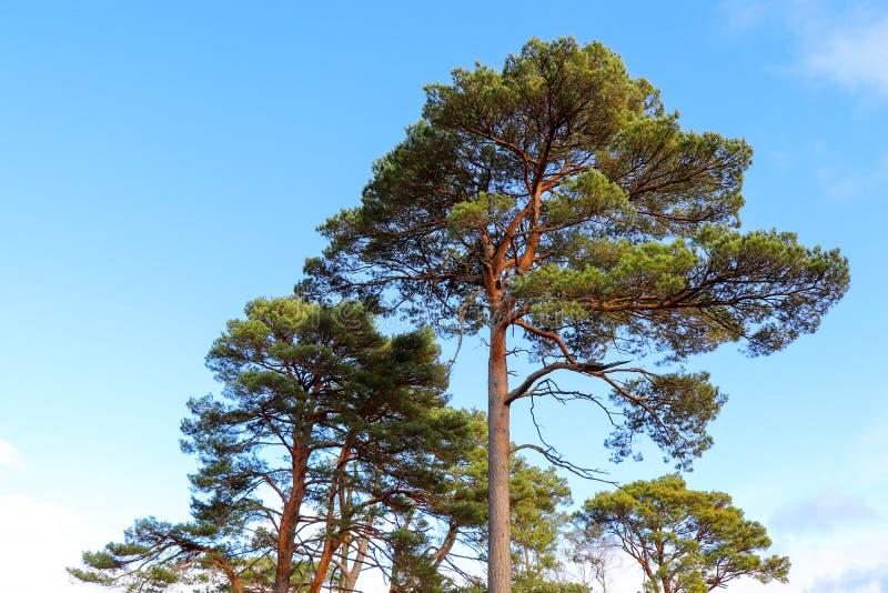 Dosséis de árvore sempre-verdes imagem de stock royalty free