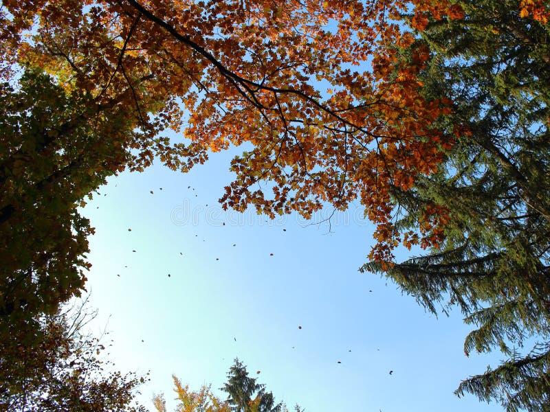 Dossel com as folhas de outono que caem para baixo fotografia de stock royalty free
