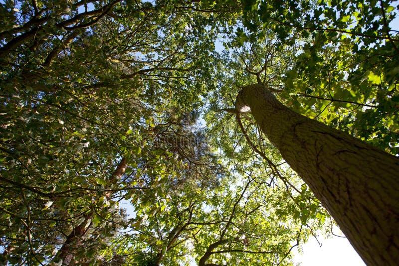 Dossel da floresta foto de stock