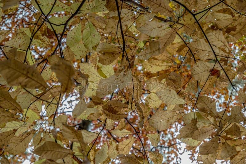 Dossel da folha do outono que olha acima fotos de stock