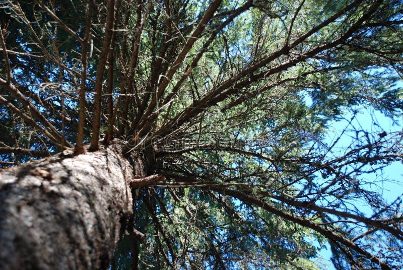 Dossel de árvore do pinho fotografia de stock royalty free
