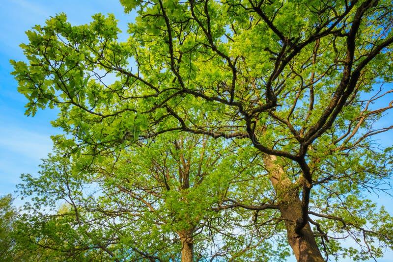 Dossel de carvalhos altos Filiais superiores da árvore imagens de stock