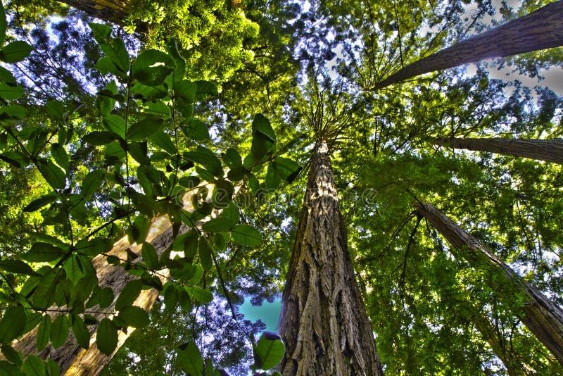 Dossel de floresta do Redwood foto de stock