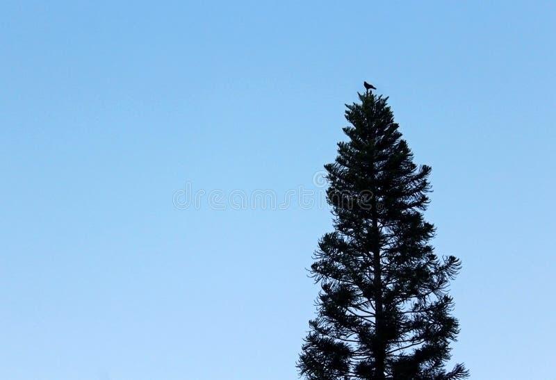 Dossel de pinheiro e um pássaro do canto fotografia de stock
