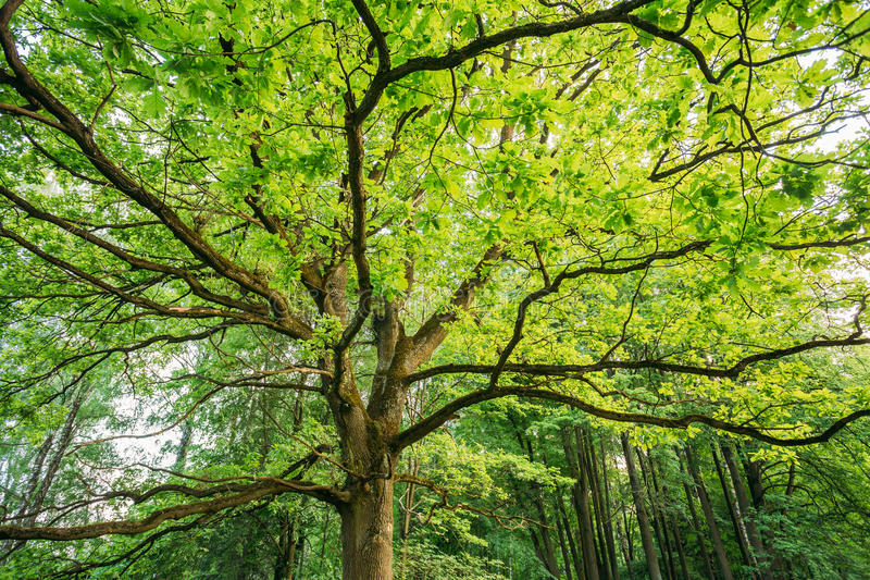Dossel do carvalho alto Sunny Deciduous Forest imagem de stock