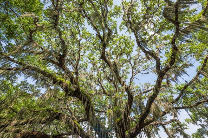 Dossel do musgo espanhol em Angel Oak Tree fotos de stock royalty free