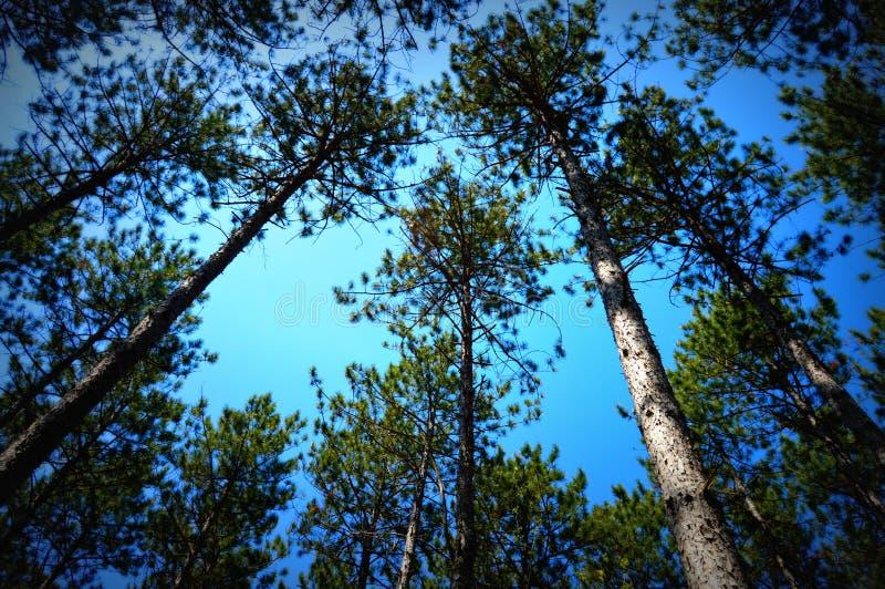 Dossel dos pinheiros fotografia de stock