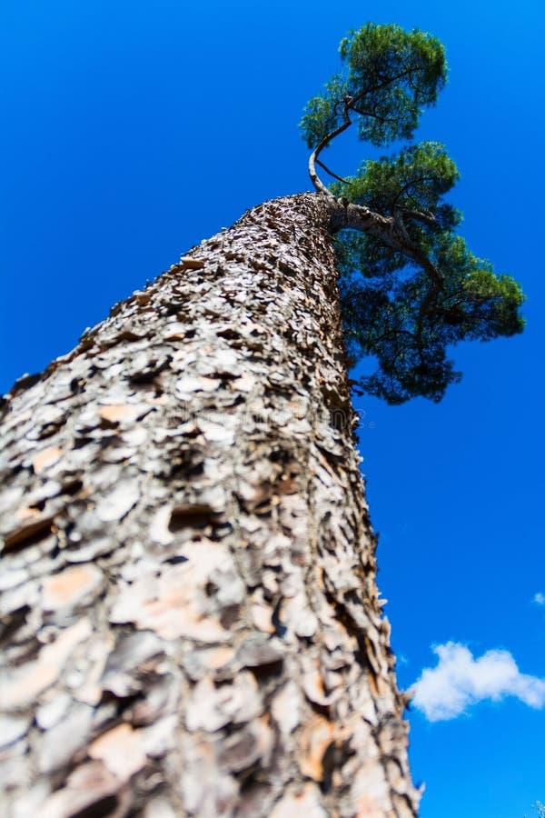 Dossel principal do tronco de árvore com o céu azul claro imagem de stock