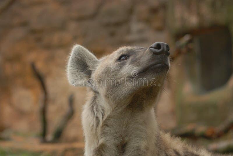 dostrzegająca crocuta hiena zdjęcie royalty free
