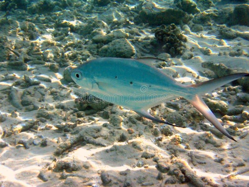 dostrzegająca strzałki ryb zdjęcia stock