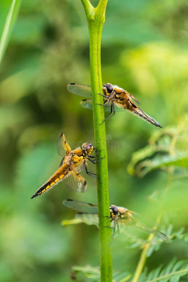 Dostrzegający łowców Dragonflies Libellula quadrimaculata osłania od deszczu zdjęcia stock