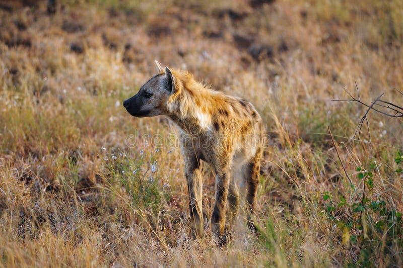 dostrzegający crocuta hyaena fotografia royalty free