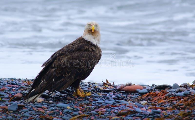 Dostrzegający Eagle fotografia royalty free