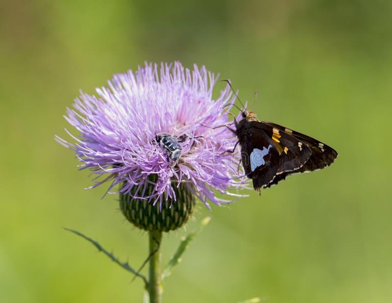 Dostrzegający szyper i mamroczącej pszczoła na Dojnym osecie obrazy royalty free