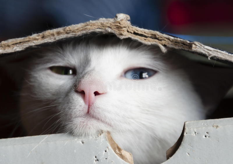 Dosyć śnieżnobiały kot z różnymi barwionymi oczami chuje w pudełku obrazy stock