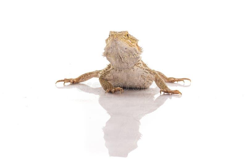 Dosyć chłodno jaszczurka na białym tle zdjęcia stock