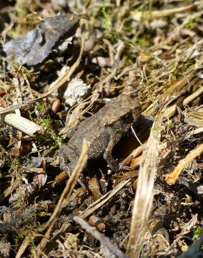 Dosyć mała żaby pozycja na suchej trawie obraz stock