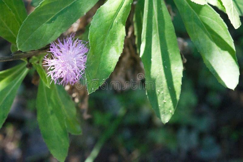 Dosyć mały purpurowy piórkowaty kwiat makro- zdjęcie royalty free