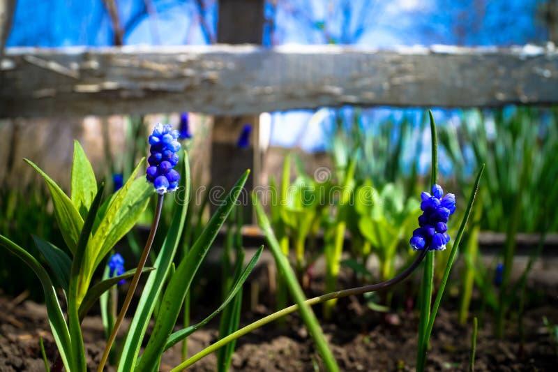 Dosyć trochę kwitnie w ogródzie błękit fotografia stock
