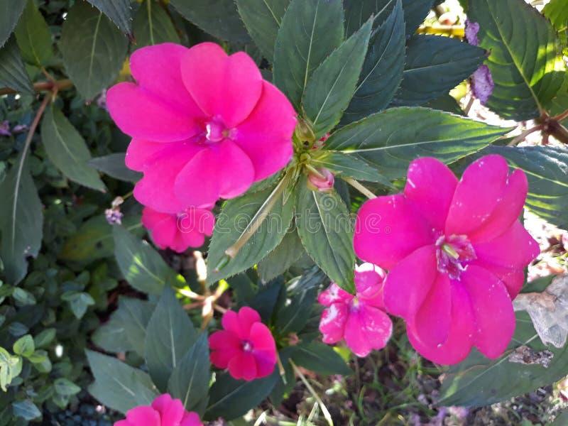 Dosyć trochę różowy kwiat w ogródzie w Storkow obraz stock