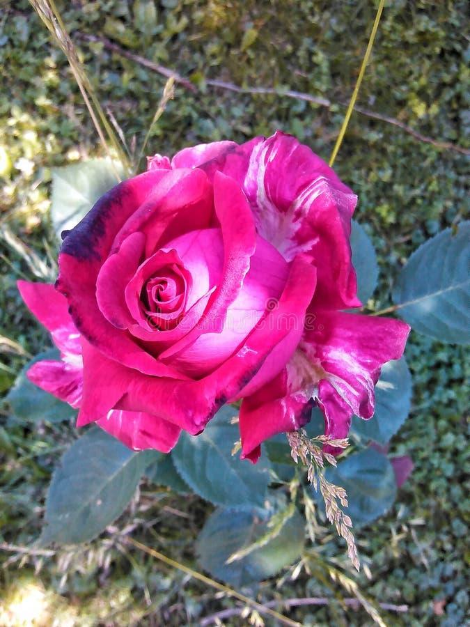 Dosyć W menchii róży zdjęcia stock