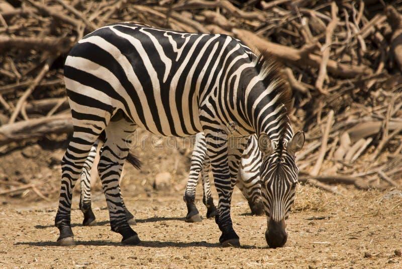 dotaci zebra s obrazy royalty free