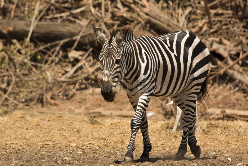dotaci zebra s obraz royalty free