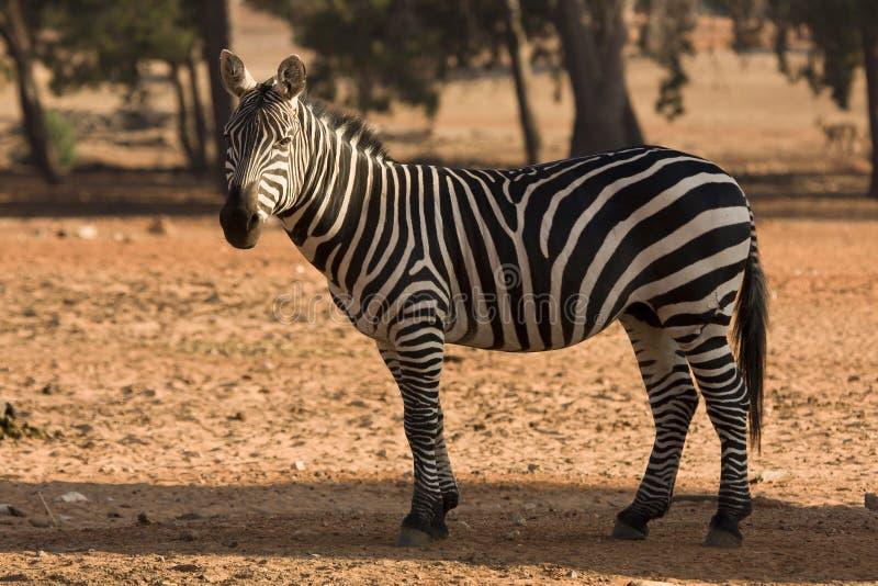 dotaci zebra s fotografia royalty free