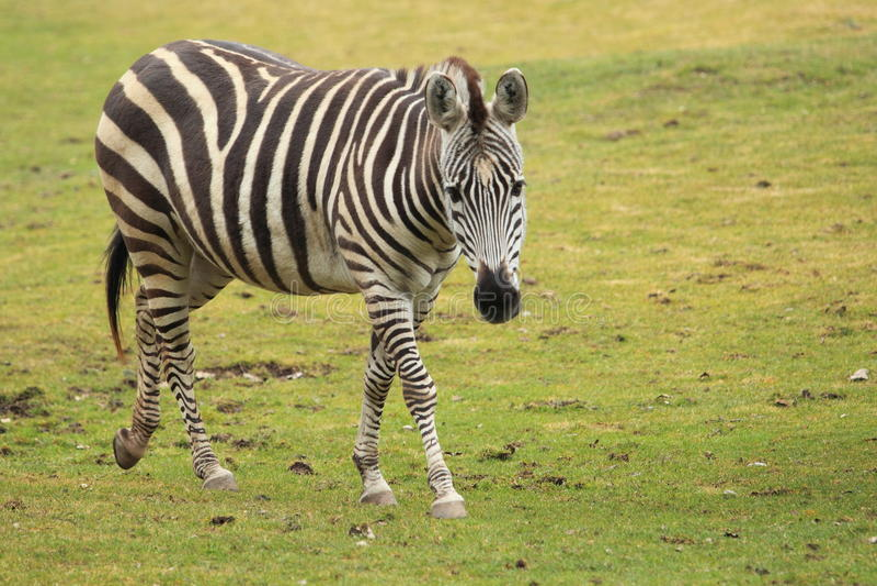 Dotaci zebra s